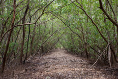 Walkway with accumulation of leaves in mangrove forest Stock Photography