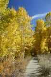 Walkway through aspens in autumn Stock Photos