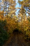 Walkway in autumn park among young maple trees with golden foliage and tall larch trees. Road to the fairytale.  royalty free stock photography