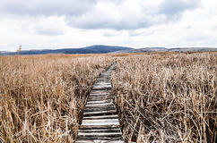 Walkway  in  bed of dry  common reed  in  marsh  in a wildlife reserve. Royalty Free Stock Image