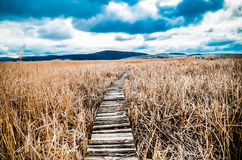 Walkway  in  bed of dry  common reed  in  marsh  in a wildlife reserve. Stock Images