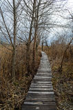 Walkway  in  bed of dry  common reed  in  marsh  in a wildlife reserve. Royalty Free Stock Images