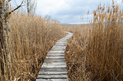 Walkway  in  bed of dry  common reed  in  marsh  in a wildlife reserve. Stock Photo