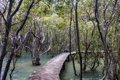 Walkway / Boardwalk through the mangroves, New Zealand royalty free stock photo