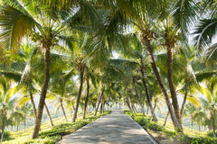 Walkway with coconut tree in the garden Royalty Free Stock Images