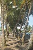 Walkway between coconut trees, Puerto Rico Royalty Free Stock Images