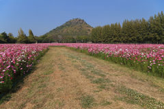 Walkway between cosmos flower in field with mountain background Stock Photo