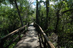 Walkway through the everglades. Wooden walkway through the Florida everglades with a forest of trees all around royalty free stock images