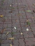 Walkway flower. Come from Chiangmai  Thailand Stock Photo