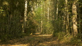 Walkway in the forest. Autumn daytime. Smooth wide dolly shot.  stock footage