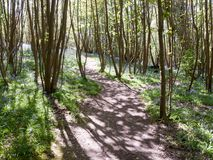 Walkway through forest wood UK spring with bluebells growing. Essex; england; uk stock photos
