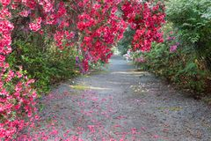 Walkway Pink Azaleas Spring in Charleston South Carolina royalty free stock images