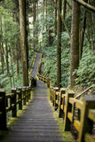 Walkway of hiking trail near bamboo forest. Wooden staircase of hiking path at bamboo forest towards Luding giant tree at Taiwan Stock Image