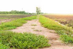 Walkway on irrigation canal in a rural tropical rice field. Royalty Free Stock Photos