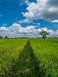 Walkway of jasmine rice paddies between  green and yellow. Walkway of rice paddies between  green rice paddies and yellow paddy fields. The background consists Royalty Free Stock Images