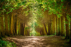 Walkway Lane Path With Green Trees in Forest Stock Photo