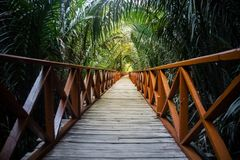 The walkway is made from a wooden bridge has handrails used. Walked into the tropical rain forest. perspective view of the wooden bridge among the tropical stock photography