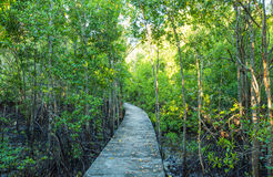 Walkway in the mangrove forest Stock Image