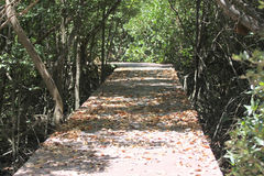 Walkway on mangrove forest. Royalty Free Stock Photo