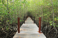 Walkway through mangroves forest Royalty Free Stock Image