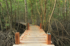 Walkway through mangroves forest Stock Photography