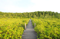 Walkway through mangroves forest Stock Photos