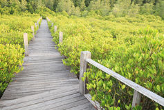 Walkway through mangroves forest Royalty Free Stock Images