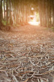 Walkway in middle of bamboo tree Royalty Free Stock Image