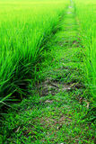 Walkway in paddy field Stock Image