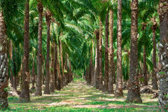 Walkway in palm tree garden. Royalty Free Stock Photos