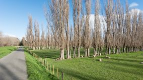 A walkway through a park in Palmerston North New Zealand. Flanked by meadows and trees with sheep grazing under a brilliant blue sky with clouds royalty free stock photo