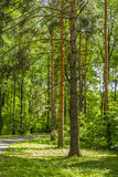 Walkway in a pine grove Royalty Free Stock Images