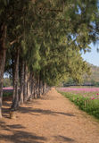 Walkway with pine trees and cosmos field Stock Photography