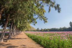 Walkway with pine trees and cosmos field Stock Image