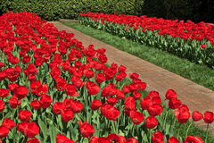 Walkway and Red Tulips Royalty Free Stock Photo