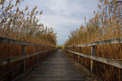 Walkway through reeds. Wood walkway through reeds in Virginia beach Royalty Free Stock Photos