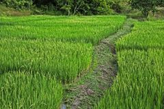 Walkway on rice field Royalty Free Stock Photography