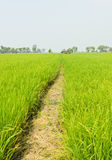 Walkway in rice field Stock Photography