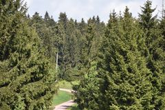 A walkway between some pine trees of the Thuringian Forest, Germany Stock Photos