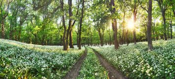 Walkway through a spring forest with blooming white flowers. Wil Royalty Free Stock Image