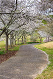 Walkway under Blossoming Cherry Trees Royalty Free Stock Photography