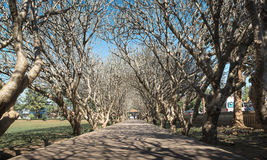 Walkway under the Plumeria tunnel. Walkway covered by plumeria trees in Thailand royalty free stock image