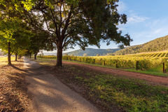 Walkway under trees near vineyard in autumn Stock Images