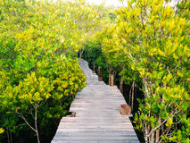 Walkway with wooden bridge through mangrove forrest Stock Photos