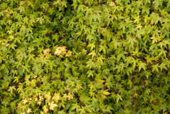 Wall of Acer Leaves Background Royalty Free Stock Photo