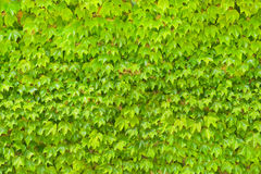 Wall background from green leaves of creepers plant Stock Photography