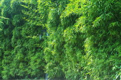 The wall of bamboo Royalty Free Stock Photography