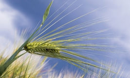 Wall barley - false barley stock image