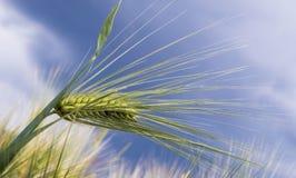 Wall barley - false barley. Hordeum murinum, commonly known as wall barley or false barley, is a species of grass Stock Image