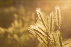 Wall barley and sunlight Stock Photo